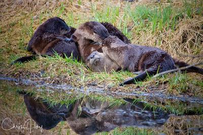 River Otter at Ridgefield National Wildlife Refuge-1