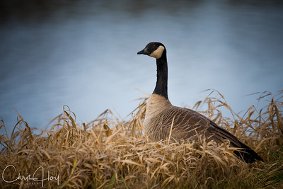 Brant at Ridgefield National Wildlife Refuge