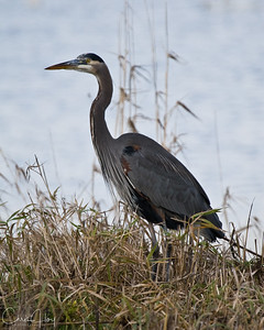 Great Blue Heron, Ridgefield NWR