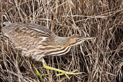 American Bittern at Ridgefield National Wildlife Refuge-4