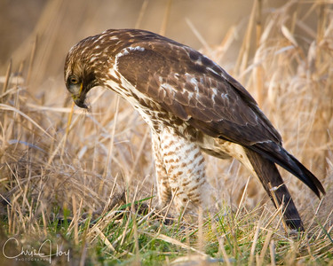 Red Tailed Hawk at Ridgefield NWR