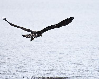 Bald Eagle at Ridgefield NWR