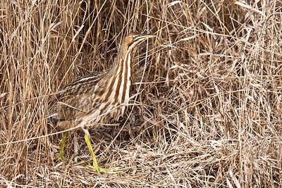 American Bittern at Ridgefield National Wildlife Refuge-2