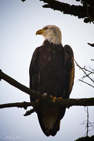 Bald Eagle at Ridgefield National Wildlife Refuge