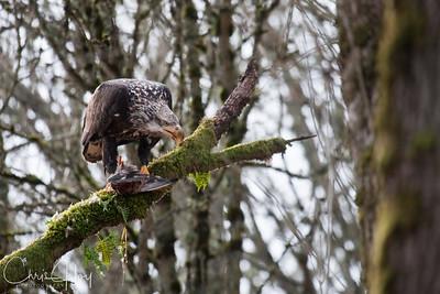 Sub-Adult Bald Eagle Eating a Duck at Ridgefield National Wildlife Refuge-3