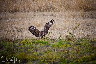 Red Tailed Hawk at Ridgefield
