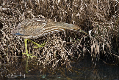 American Bittern at Ridgefield National Wildlife Refuge