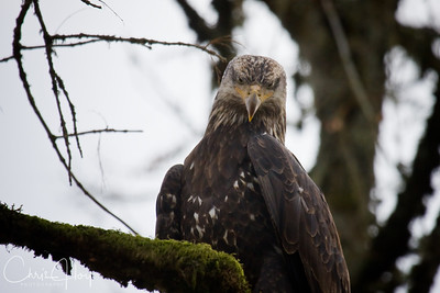 Sub Adult Bald Eagle at Ridgefield National Wildlife Refuge