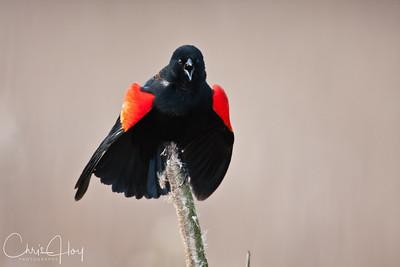 Red Winged Blackbird at Ridgefield National Wildlife Refuge-1-3