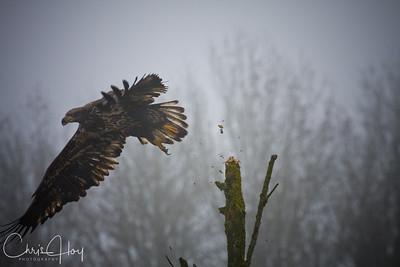 Immature Bald Eagle goes for the kill at Ridgefield NWR