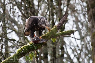 Sub-Adult Bald Eagle Eating a Duck at Ridgefield National Wildlife Refuge