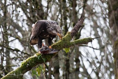 Sub-Adult Bald Eagle Eating a Duck at Ridgefield National Wildlife Refuge