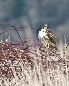 Red Tail Hawk, Ridgefield NWR