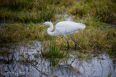 Great Egret at Ridgefield NWR