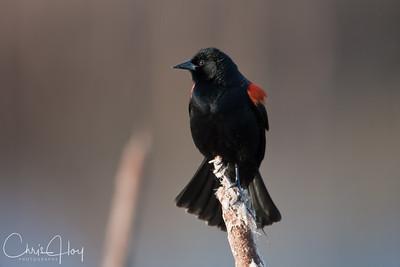 Red Winged Blackbird at Ridgefield National Wildlife Refuge-1-2