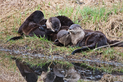 River Otter at Ridgefield National Wildlife Refuge-1-2