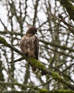 Red Tailed Hawk, Ridgefield NWR