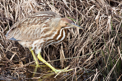 American Bittern at Ridgefield National Wildlife Refuge-3
