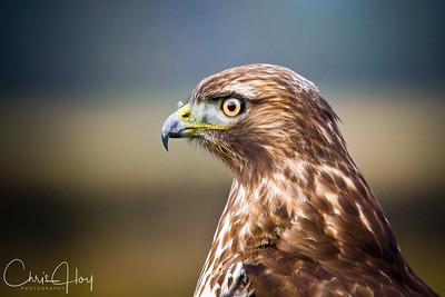 Red Tailed Hawk at Ridgefield NWR