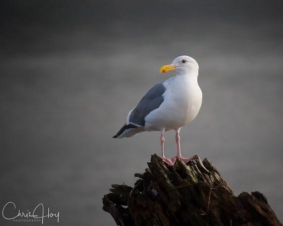 Gull at the Oregon Coast