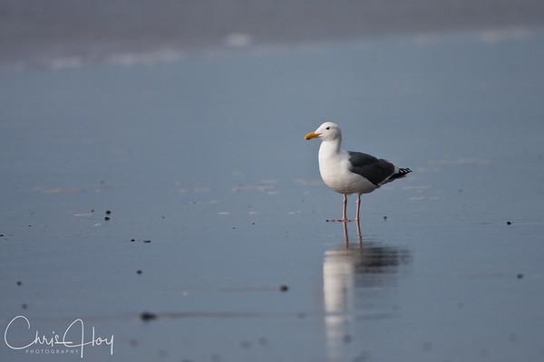 Gull on the Beach-1