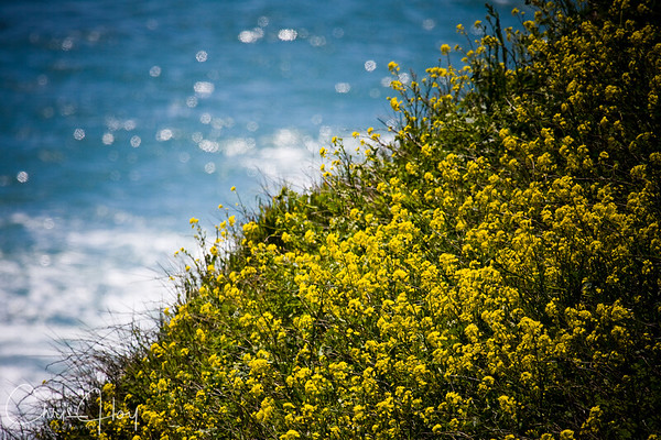 Wildflowers on the Pacific