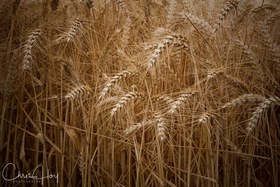 Wheat in a Field