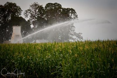 Corn Field near Brooks, Oregon