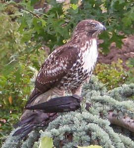 Hawk with Crow in Talons. Near Costco in Salem, Oregon.