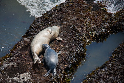 Harbor Seal nursing pup at Yaquina Head, Newport, Oregon