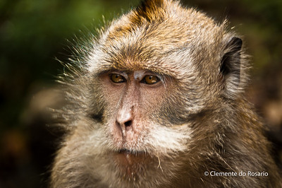 Balinese Monkey in Uluwatu, Bali, Indonesia