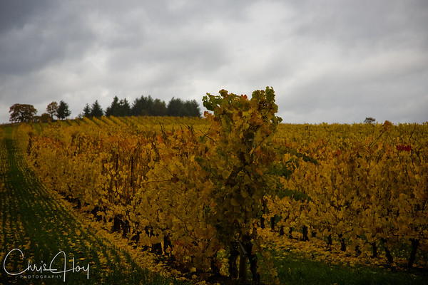 Fall Color at Van Duzer Winery Vineyard