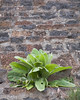 Plant growing out of Brick Steps<br /> Under the Crooked River Bridge, near Terrebonne, Oregon