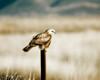 Rough Legged Hawk at Klamath National Wildlife Refuge (Midnight Filter Applied)