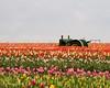 Tulip Field near Woodburn, Oregon