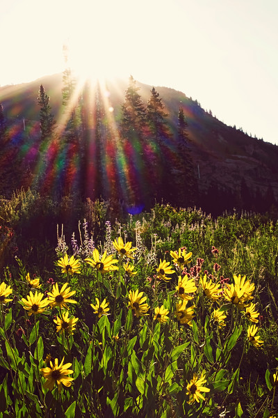 Wildflowers, Albion Basin, Little Cottonwood Canyon, Utah