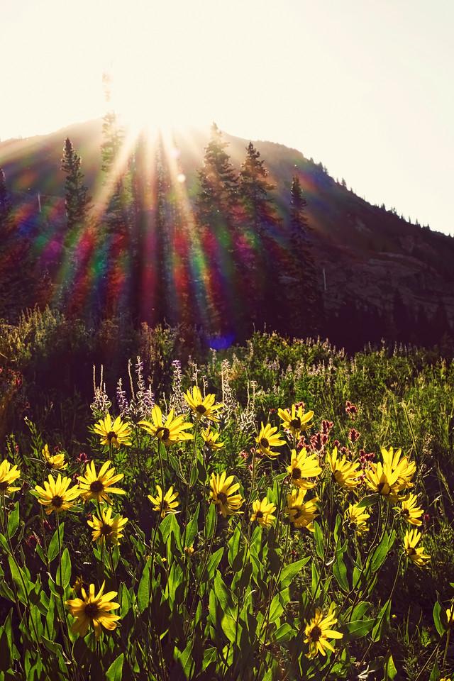 Wildflowers, Albion Basin, Little Cottonwood Canyon, Utah