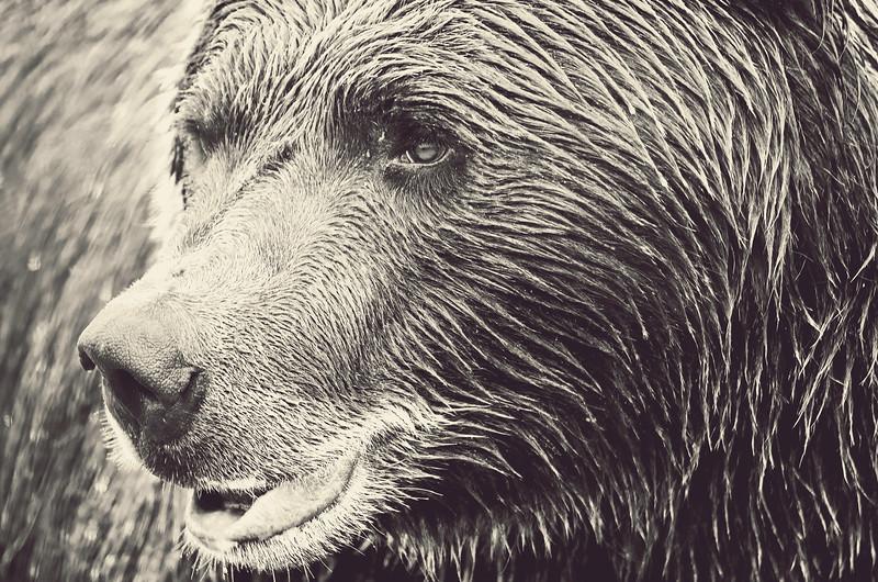 Brown Bear II, Alaska