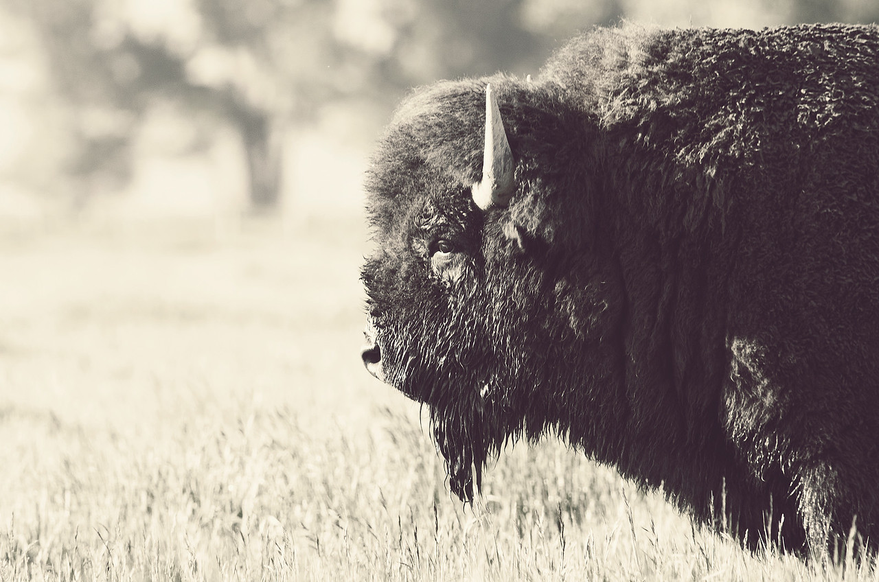 Bison I, Mormon Row, Grand Teton National Park, Wyoming