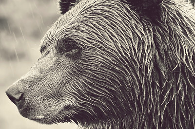 Brown Bear I, Alaska
