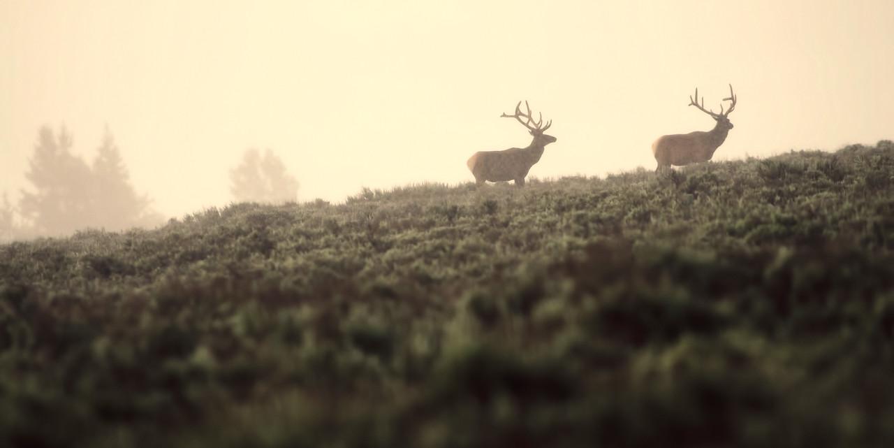 Morning Elk, Grand Teton National Park, Wyoming