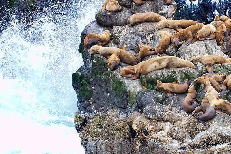 Stellar Sea Lions, Seward, Alaska
