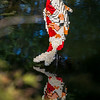 Nature Connects: Art with LEGO Bricks, by NY artist Sean Kenney, exhibit of 27 Lego structures in 14 displays throughout Lewis Ginter Botanical Garden grounds May 27-September 18; award-winning in prior venues, the structures used a half-million Lego bricks, total; 1937 Legos went into making this jumping koi, displayed in the upper pond of Asian Valley