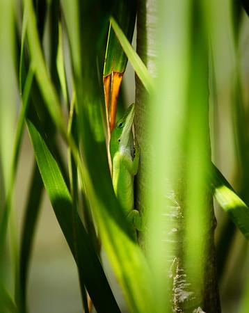 Li. Lizard in Hiding 07