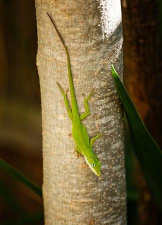 Li. Lizard Look 04