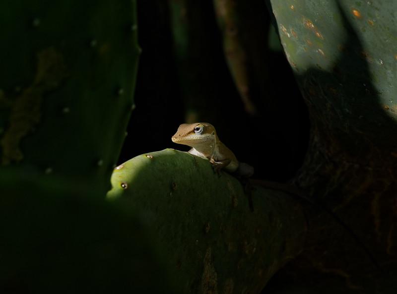 Li. Lizard Posing