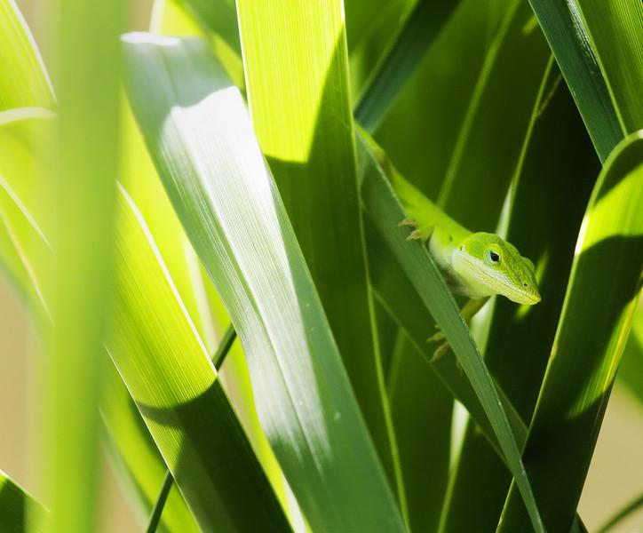 Li. Lizard Cool