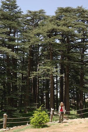 W lesie swietych cedrów