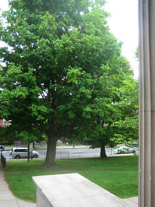 Same tree as seen from top of the library steps.