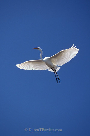 s77 Great Egret, a member of the heron family